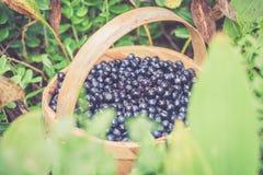 Czarna jagoda w Sweden Zdjęcie Stock