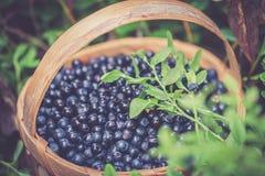 Czarna jagoda w Sweden Fotografia Stock