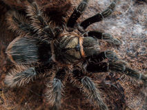 Czarna kędzierzawego włosy tarantula Obrazy Royalty Free