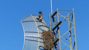 Czarna kania gniazduje w radiowym nadajniku Zdjęcie Royalty Free