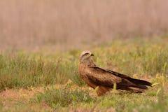 Czarna kania, Milvus migrans umieszczający Zdjęcia Stock