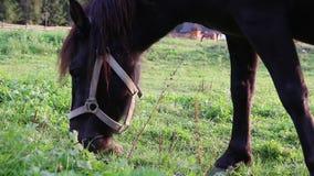 Czarna końska łasowanie trawa w zakończeniu w górę, pasający na łące, zbiory wideo