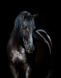 Czarna końska głowa odizolowywająca na czerni Obrazy Royalty Free