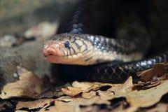 Czarna kobra Fotografia Royalty Free