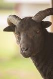 czarna koza Zdjęcia Royalty Free