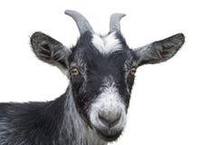 czarna koza obrazy royalty free