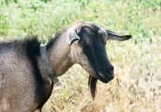 czarna koza Zdjęcia Stock