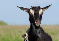czarna koza Fotografia Stock