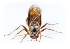 Czarna królowej mrówka Odizolowywająca Zdjęcie Stock