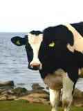 czarna krowa white zdjęcia stock