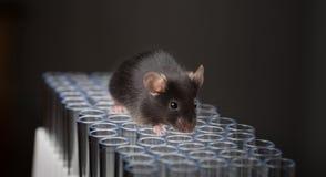 Czarna lab myszy sztuka na tubkach Zdjęcia Stock