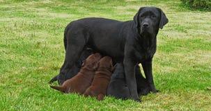 Czarna Labrador Retriever dziwka Normandy w Francja Która Karmi czerń i Brown szczeniaki, zwolnione tempo zbiory