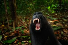Czarna małpa z otwartym usta z dużym zębem, siedzi w natury siedliska Celebes czubatym makaku, Macaca nigra w tropikalnych pierws Zdjęcie Royalty Free