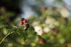 Czarna malinka - dojrzałe jagody w ogródzie w lato słonecznym dniu fotografia royalty free