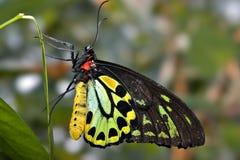 czarna motyl green Zdjęcie Stock