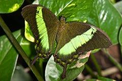 czarna motyl green Obrazy Stock