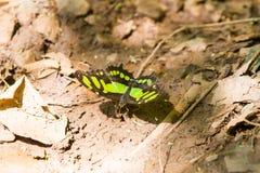 czarna motyl green Obraz Stock