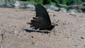 czarna motylia czerwony obraz stock