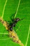 Czarna mrówka miewa skłonność Panaphis juglandis korówki na orzechu włoskim leaf fotografia stock