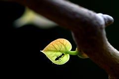 Czarna mrówka na liściu przy drzewem obrazy stock