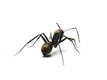 czarna mrówka odizolowywająca na białym tle Zdjęcie Stock