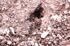 Czarna mrówka zabił czerwonej mrówki Fotografia Royalty Free
