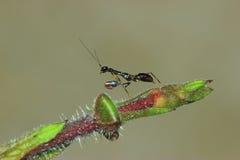 Czarna mrówki modliszka Obraz Stock