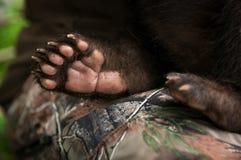 Czarna Niedźwiadkowego lisiątka Ursus americanus łapa zdjęcie royalty free