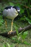 czarna noc heron koronowany chodzić obraz royalty free