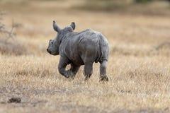Czarna nosorożec, Kenja, Afryka zdjęcie stock