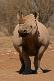 czarna nosorożca fotografia stock