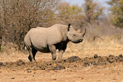 czarna nosorożca Zdjęcia Stock