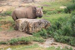 czarna nosorożca Zdjęcia Royalty Free