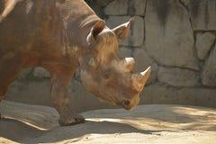 czarna nosorożca Obrazy Royalty Free
