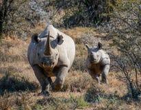 Czarna nosorożec łydka i matka Fotografia Royalty Free