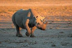 Czarna nosorożec Obrazy Stock