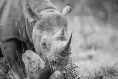 Czarna nosorożec gra główna rolę w czarny i biały Fotografia Royalty Free