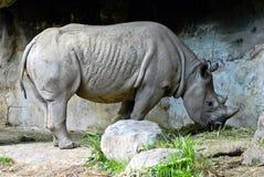 Czarna nosorożec Pokazuje Jego chwałę Obrazy Royalty Free