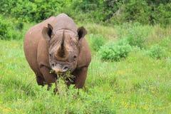 Czarna nosorożec przy Addo słonia parkiem narodowym - Południowa Afryka Fotografia Stock