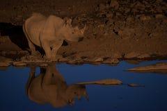 Czarna nosorożec przy podlewanie dziurą, Etosha park narodowy, Namibia zdjęcie stock