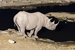 Czarna nosorożec przy sztucznie zaświecającym waterhole po zmierzchu Fotografia Royalty Free