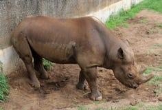 Czarna nosorożec przy zoo Pretoria, Południowa Afryka Zdjęcie Royalty Free