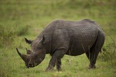 Czarna nosorożec Obraz Royalty Free