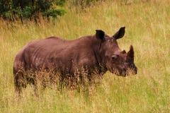 Czarna nosorożec Obrazy Royalty Free