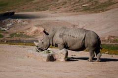 Czarna nosorożec Fotografia Royalty Free