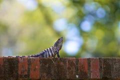 Czarna ogoniasta iguana na ściana z cegieł Zdjęcie Stock