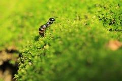 Czarna ogrodowa mrówka Zdjęcia Royalty Free