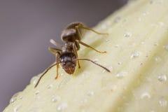 Czarna ogrodowa mrówka Obraz Stock