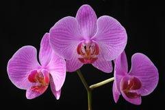 czarna orchidea Obraz Royalty Free