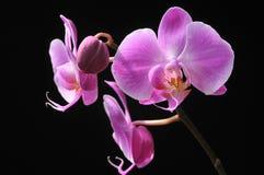 czarna orchidea Fotografia Stock